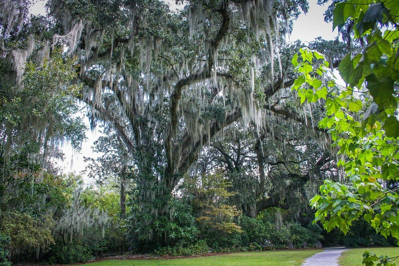 How to Remove Spanish Moss from Trees